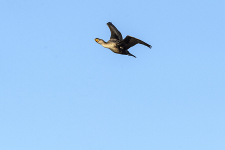 Double-crested Cormorant turning head to make eye contact during flight