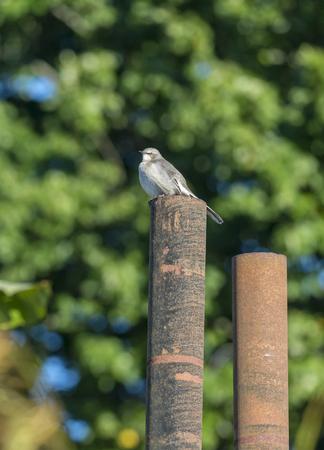 Northern Mockingbird perched on rusty iron pipe