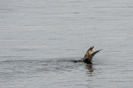 Double-crested Cormorant stretching its wings to shake water off its feathers