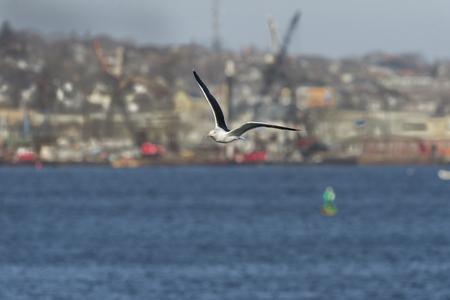 그레이트 블랙 백업 갈매기 항구와 도시 배경에 대해 높은 비행 날개