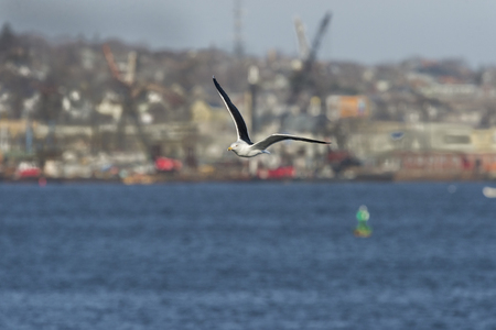 Great Black-backed Gull in flight wings high against harbor and city background Reklamní fotografie - 94511135