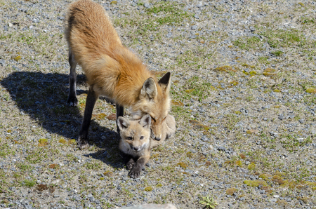 Red fox kit makes eye contact while being groomed by parent near den in hurricane barrier