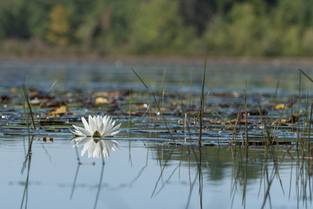 Lone water lily among the lily pads on a leach pond at Borderland State Park