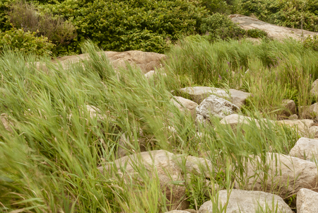 Marsh grass blowing in the wind at Hazard Rock