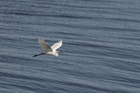 Great Egret in stately flight across harbor in Fairhaven, Massachusetts