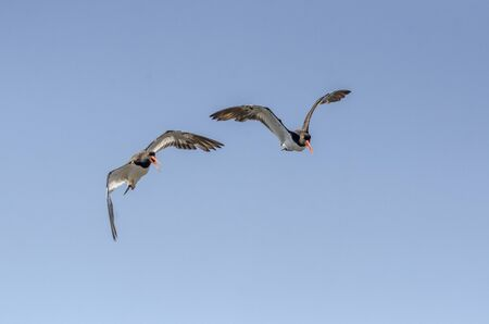 Pair of striking American Oystercatchers vocalizing as they fly overhead