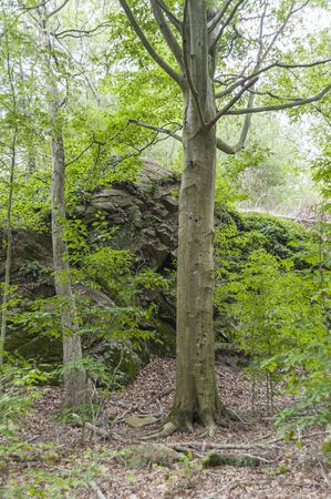 Tree in front of rock mound in woods