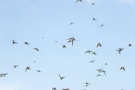 Near collision of tree swallows among flock flying over Gooseberry Neck Imagens