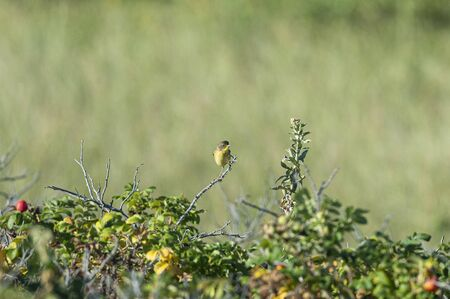 Common Yellowthroat perched on briar branch with catch light