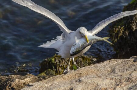 Herring gull maneuvers across rocks on hurricane barrier to feed on dead bluefish