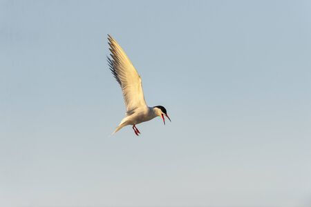 Common Tern hovering in flight and vocalizing over nesting area on Plymouth Beach