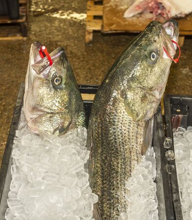 Striped bass iced and tagged and ready for shipping from processing plant Imagens