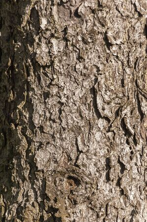 Rough bark on spruce tree in pocket park on New Bedford waterfront