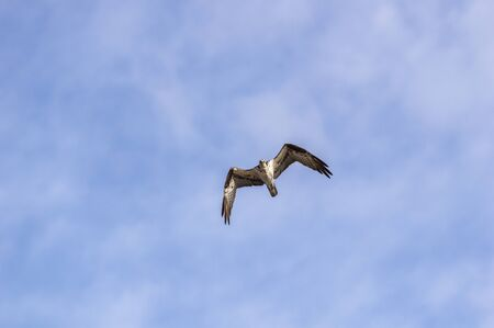 Osprey making eye contact while flying overhead 免版税图像