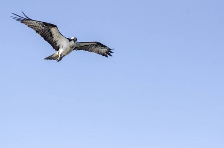 Osprey hovering to take a look