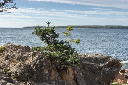 Scrub pine rooted in granite along Ship Harbor Nature Trail with Great Gott Island in background