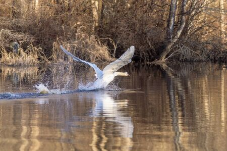 Mute swan pounding into takeoff on upper Acushnet River on winter morning