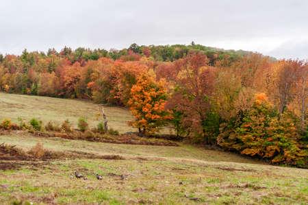 Wild turkeys slowly work their way up slope on autumn morning