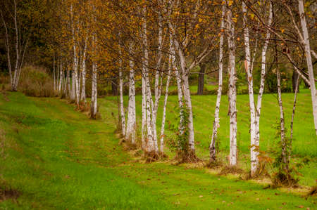 Row of birches paralleling road Reklamní fotografie