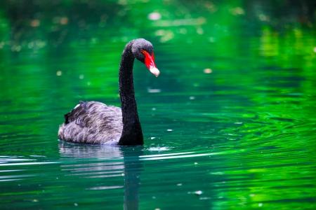 cygnus atratus: Black swan with a red beak In The Pond