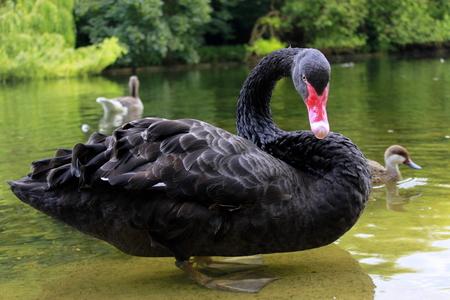 st jamess: Black swan in St. Jamess London park.