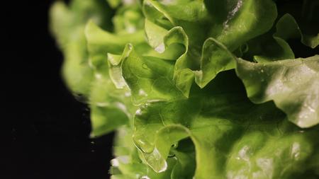 Fresh green lettuce reflecting on black background.