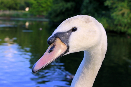 st jamess: Head of white swan in St. Jamess Park