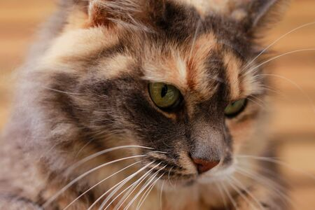 Close up Face of a Beautiful Tricolor Female Domestic Cat