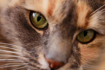 Eyes of a Cute Female Domestic Cat