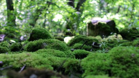 Moss on Stones in Sunny Forest Low Angle