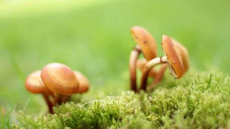 Honey Mushrooms on Green Moss Stok Fotoğraf