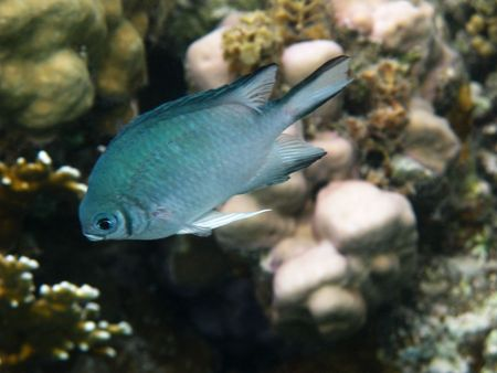 damselfish: Damselfish and coral reef in Red sea Stock Photo