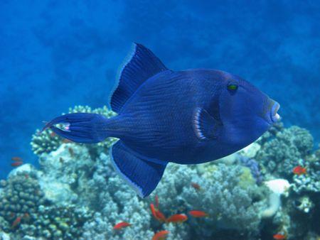 Dark blue triggerfish photo
