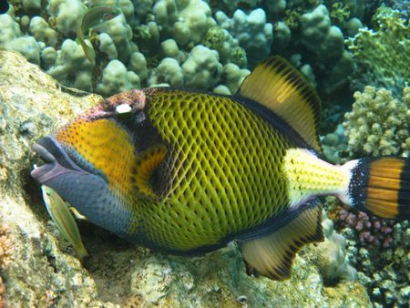 Titan triggerfish and coral reef in Red sea Stock Photo - 4812485