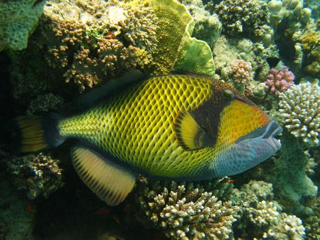 Titan triggerfish and coral reef in Red sea Stock Photo - 4812487