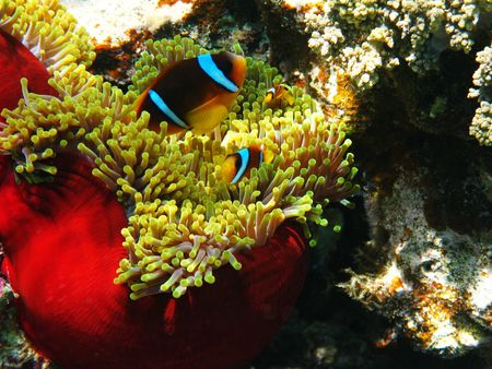 Sea anemones and two-banded clownfishes in Red sea Stock Photo - 4888762