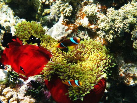 Two-banded clownfishes and sea anemones in Red sea Stock Photo - 4888763