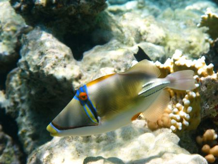 trigger fish and coral reef in Red sea photo