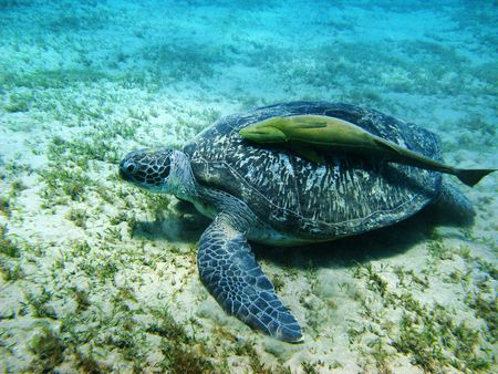 symbiosis: Sea turtle and suckerfish in Red sea