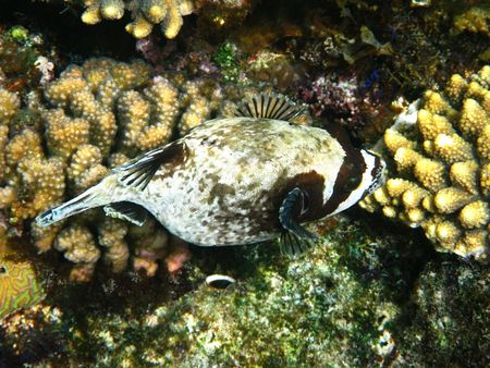 Masked puffer fish and coral reef in Red sea photo