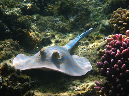 bluespotted: Blue-spotted stingray and coral reef in Red sea Stock Photo