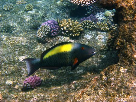 Parrot fish and coral reef in Red sea photo