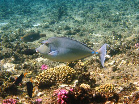 naso: Bluespine unicornfish (naso unicornis) and coral reef in Red sea