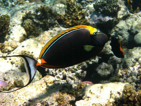 naso: Orangespine unicornfish (naso lituratus) and coral reef in Red sea Stock Photo