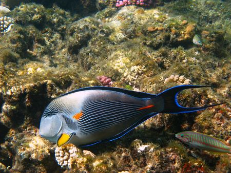 sohal: Sohal surgeonfish and coral reef in Red sea
