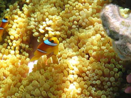 symbiosis: Sea anemones and two-banded clownfish in Red sea Stock Photo