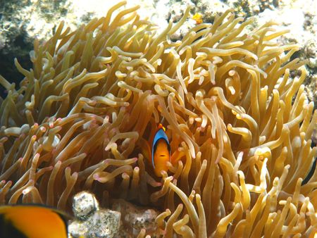 amphiprion bicinctus: Two-banded clownfish and sea anemones in Red sea