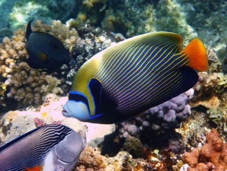 pomacanthus imperator: Pesci angelo imperatore e barriera corallina in Mar Rosso