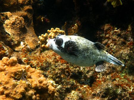 arothron: Masked puffer and coral reef in Red sea