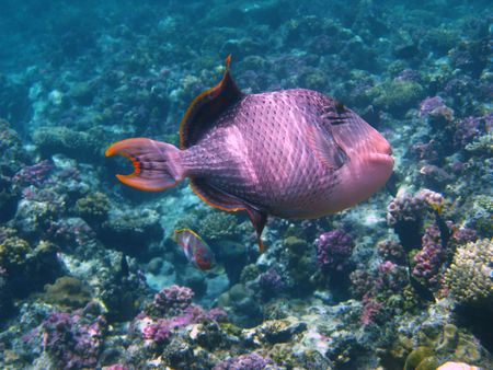 triggerfish: Yellowmargin triggerfish and coral reef in Red sea